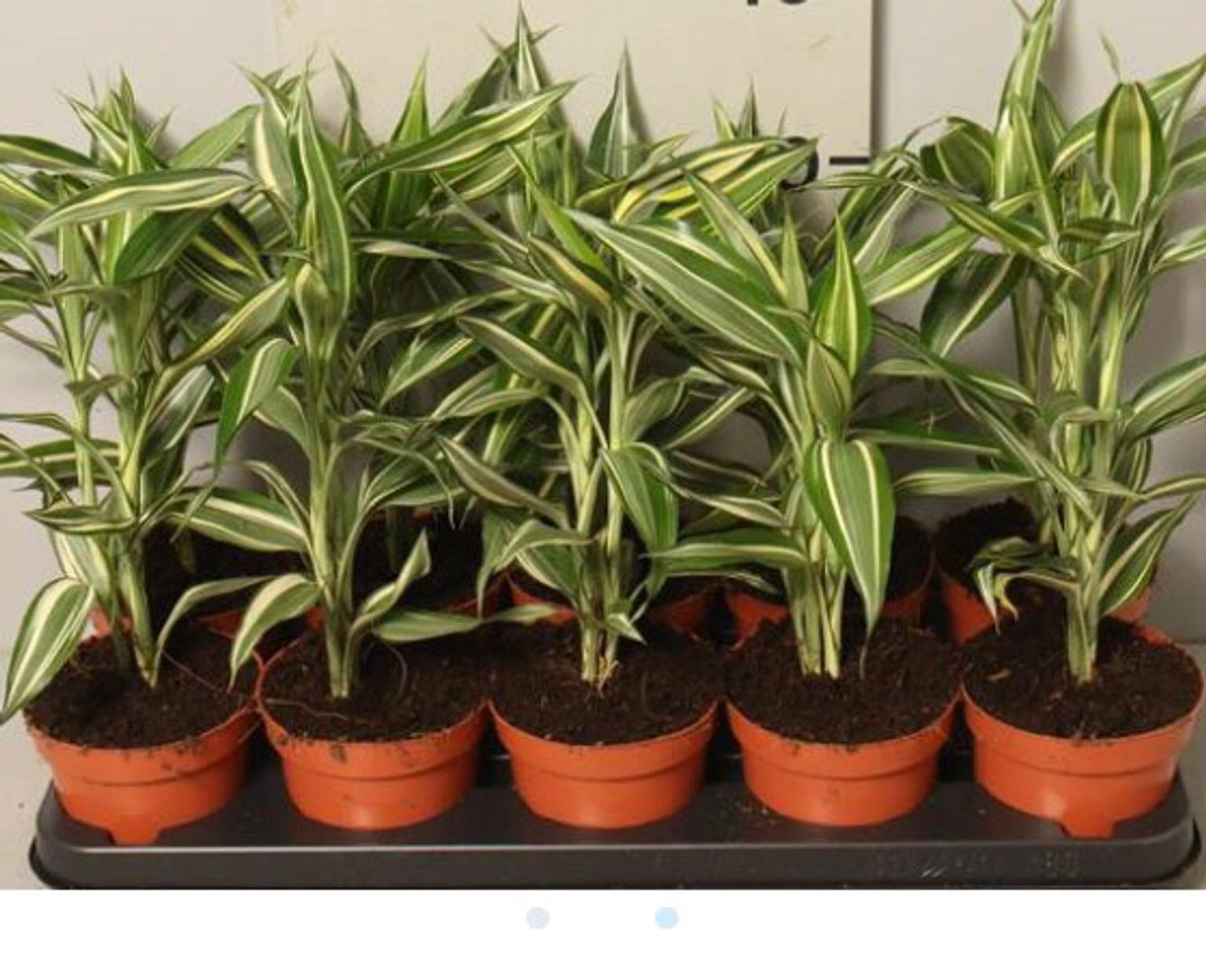 Dracaena lucky bamboo indoor house plants