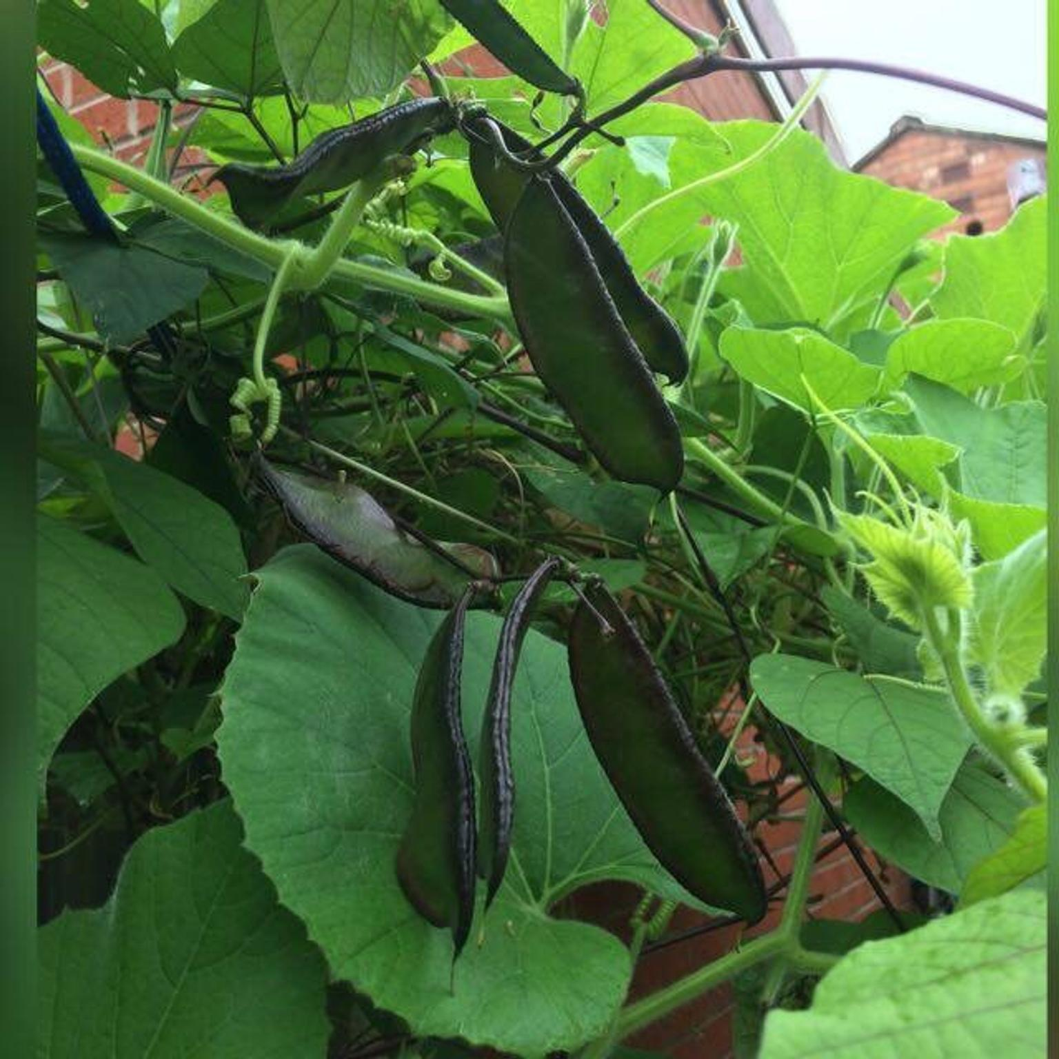 3PCS Winged Bean Seeds Spring Pea Organic Vegetable Home Garden Green Plant Seed
