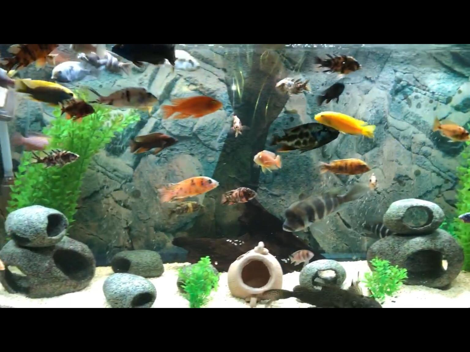 Malawi cichlids for sale in CR4 London for free for sale