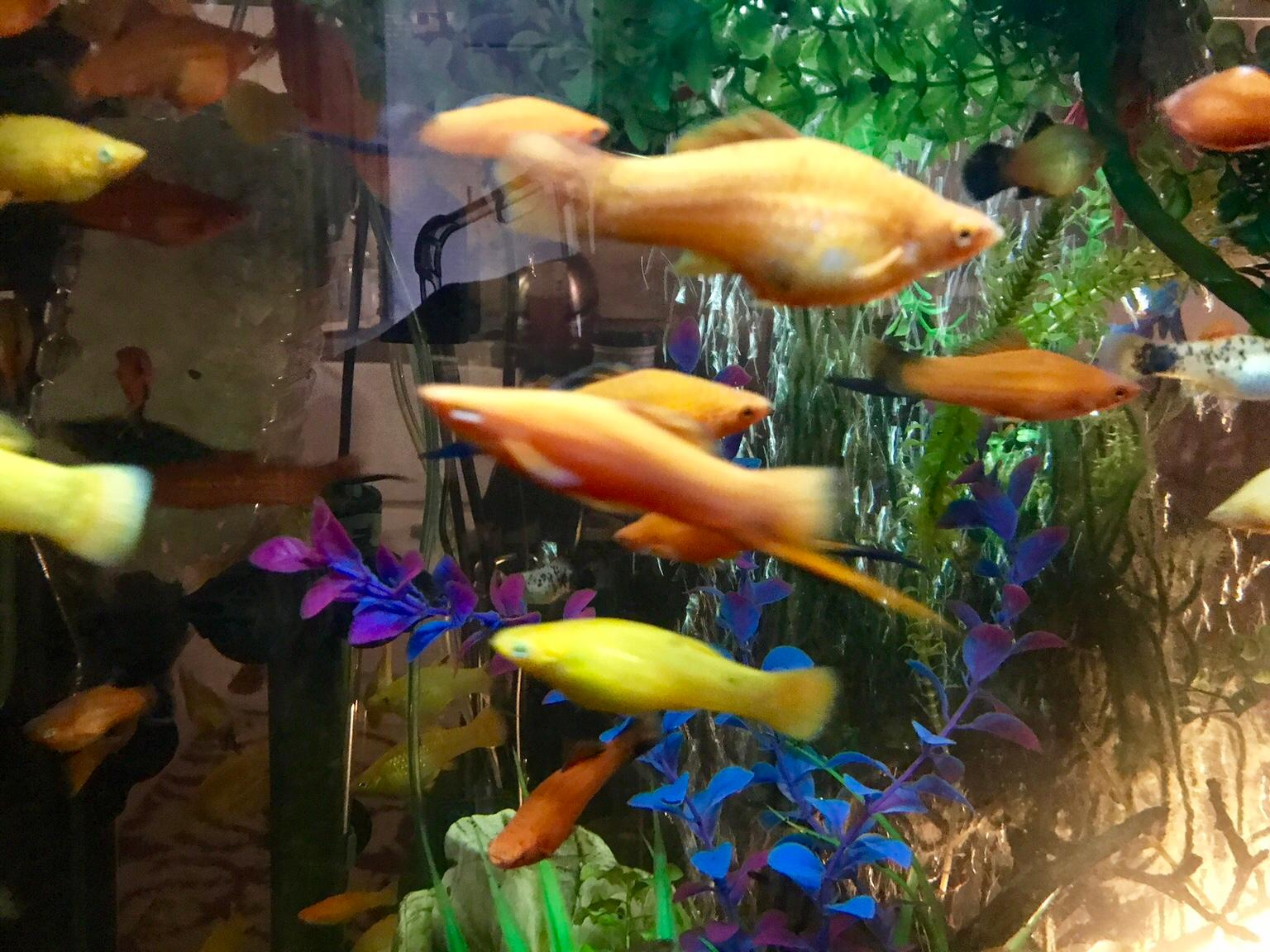 Tropical fish in W1D London for £1.00 for sale - Shpock