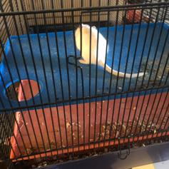 Two Male Gerbils in DL16 Spennymoor for £25 00 for sale - Shpock