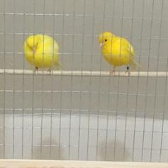 pair of diamorphic canaries in WV14 Dudley for £50 00 for