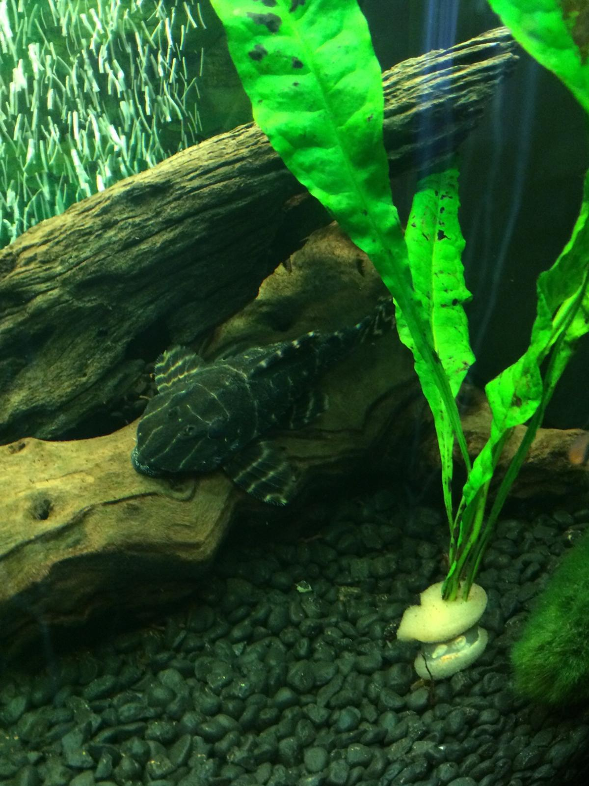 Flash Pleco L204 for sale Fish Tank in E12 London for £35 00 for