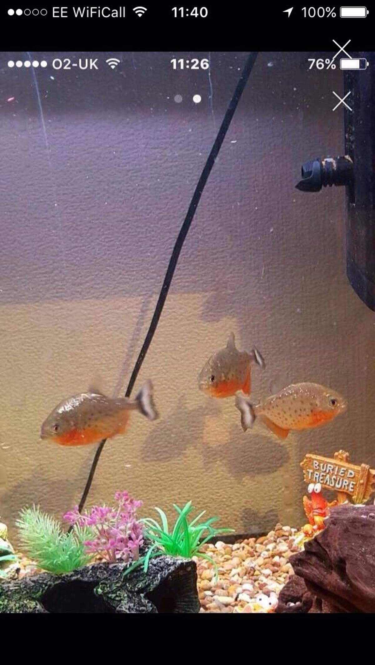Fish for sale red belly piranha