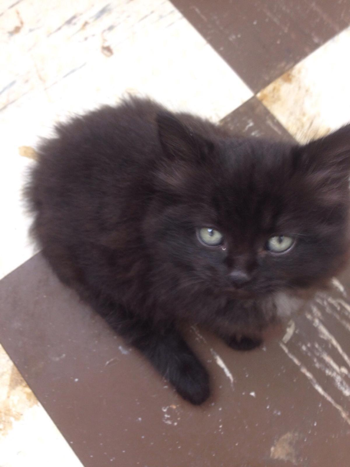 4 Black Kittens For Sale 8 Weeks Old In Ws7 Lichfield For