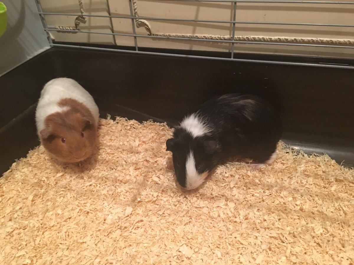 2 Guinea Pigs For Sale With Cage And More In En3 Enfield For 70 00 For Sale Shpock