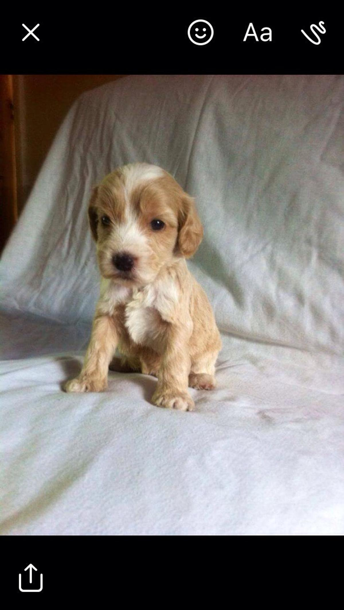 Pra clear cockapoo puppies in WV10 Wolverhampton for