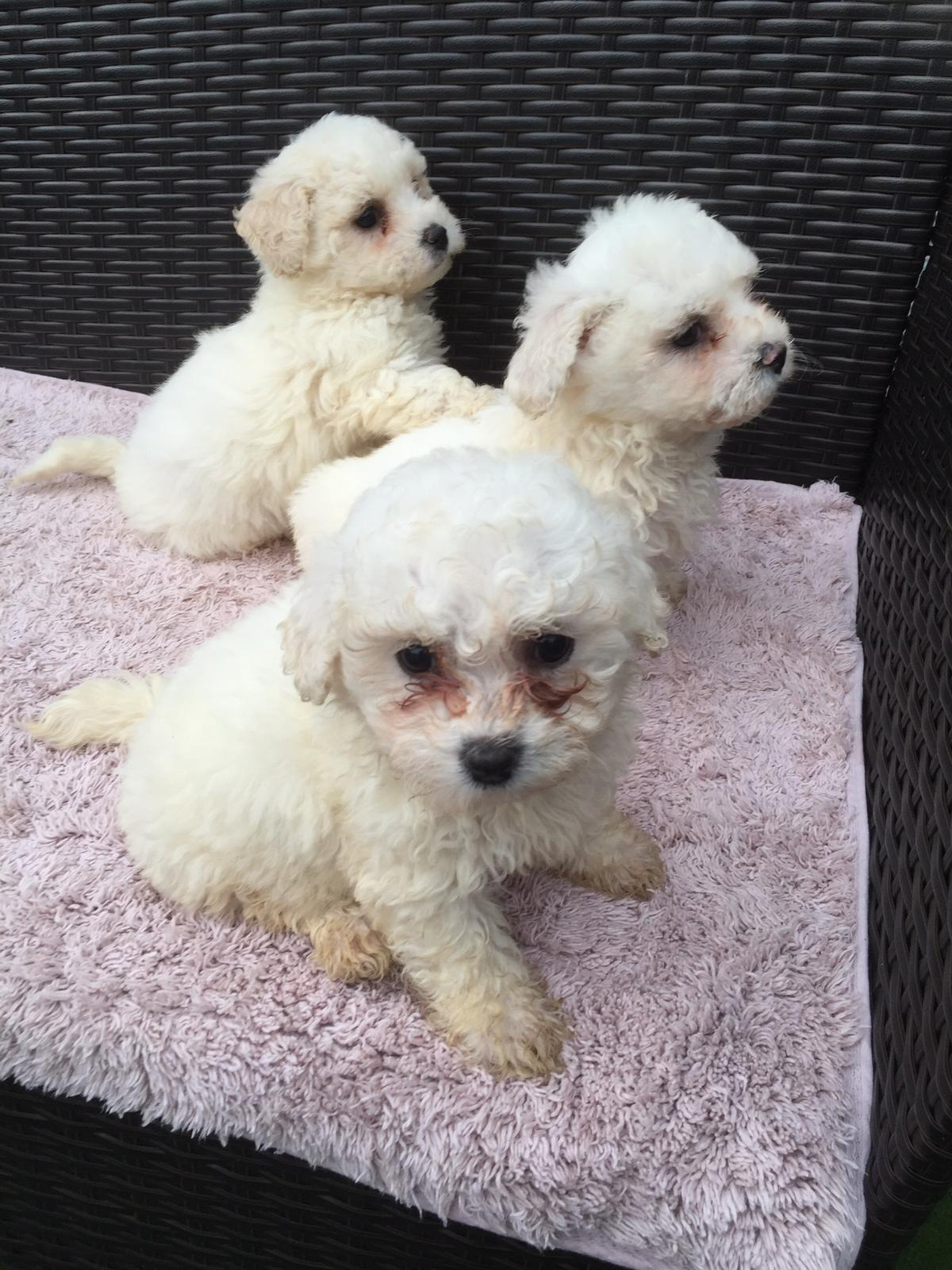 Bichon frise puppies for sale in WA7 Runcorn for £400 00 for