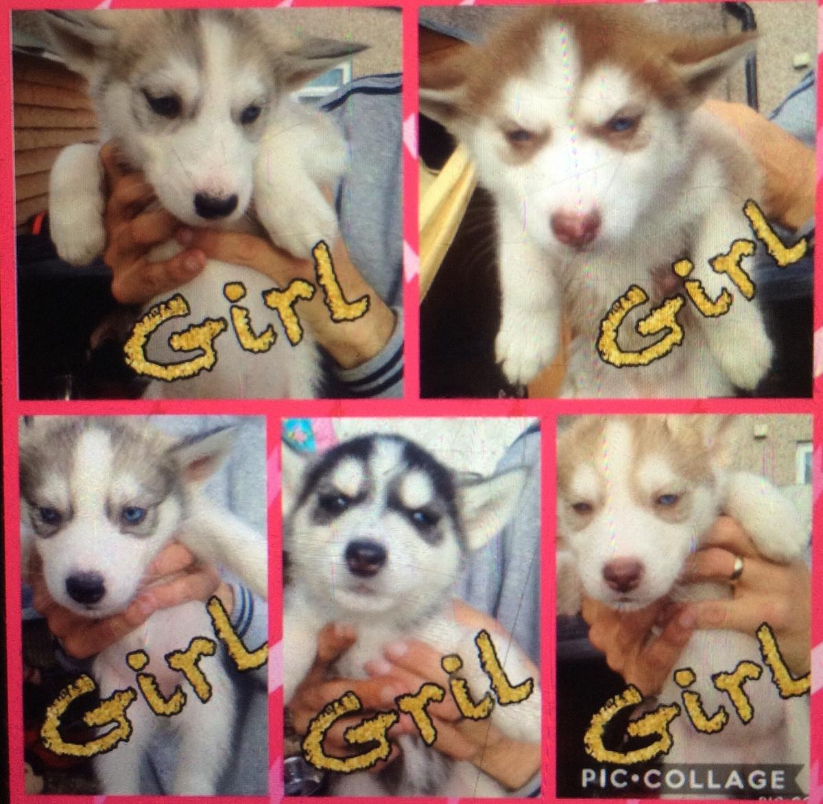 Husky Pups In Cf5 Cardiff For 300 00 For Sale Shpock