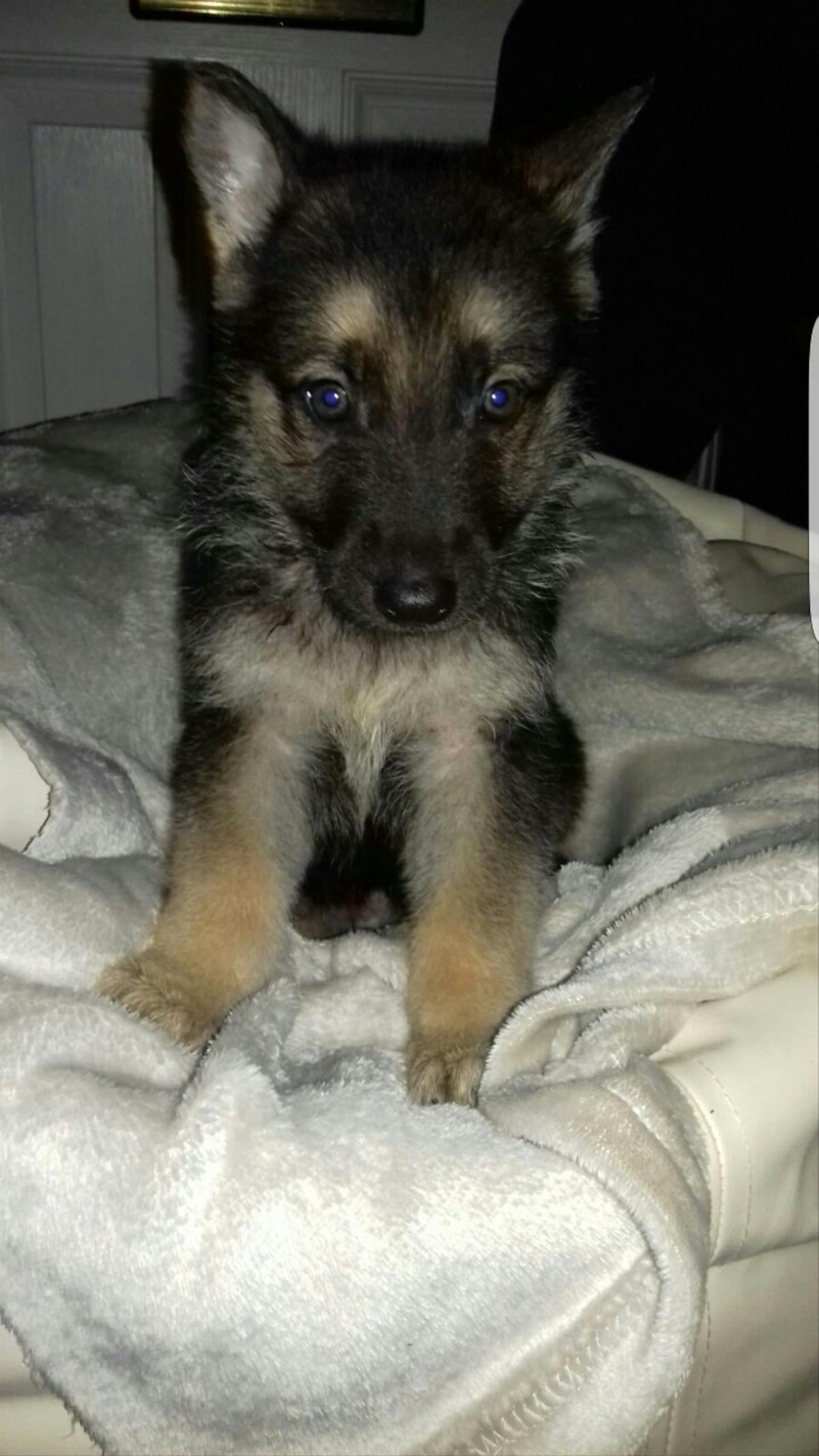 Stunning Male German Shepherd Puppy In S9 Sheffield For 500 00 For Sale Shpock