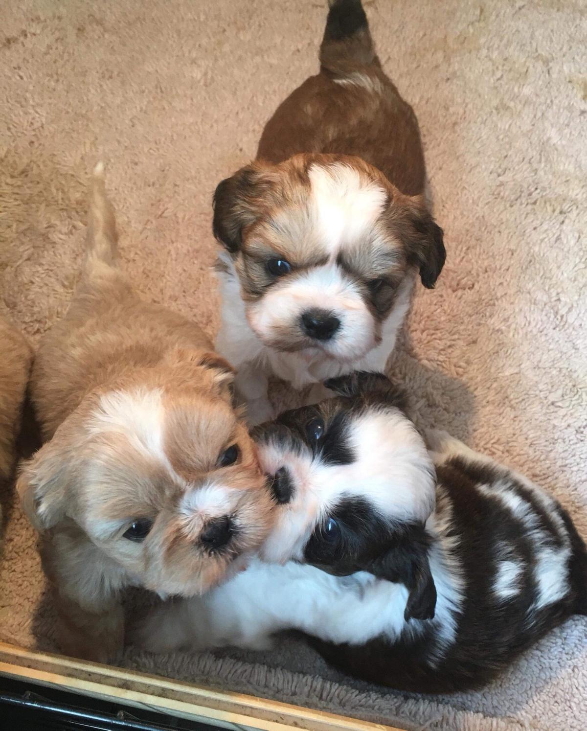 Shih tzu puppy's in Hambleton for £400 00 for sale - Shpock