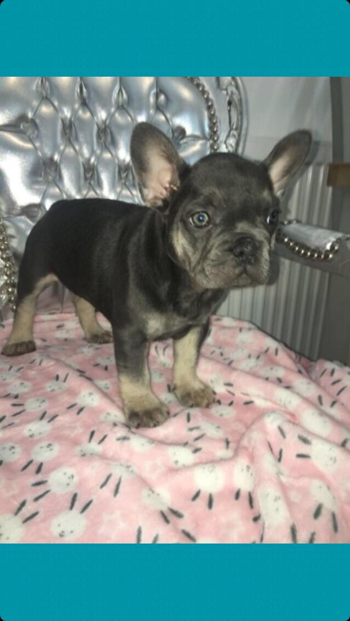 French bulldog pups £1000 in WA10 Helens for £1,000.00 for sale | Shpock