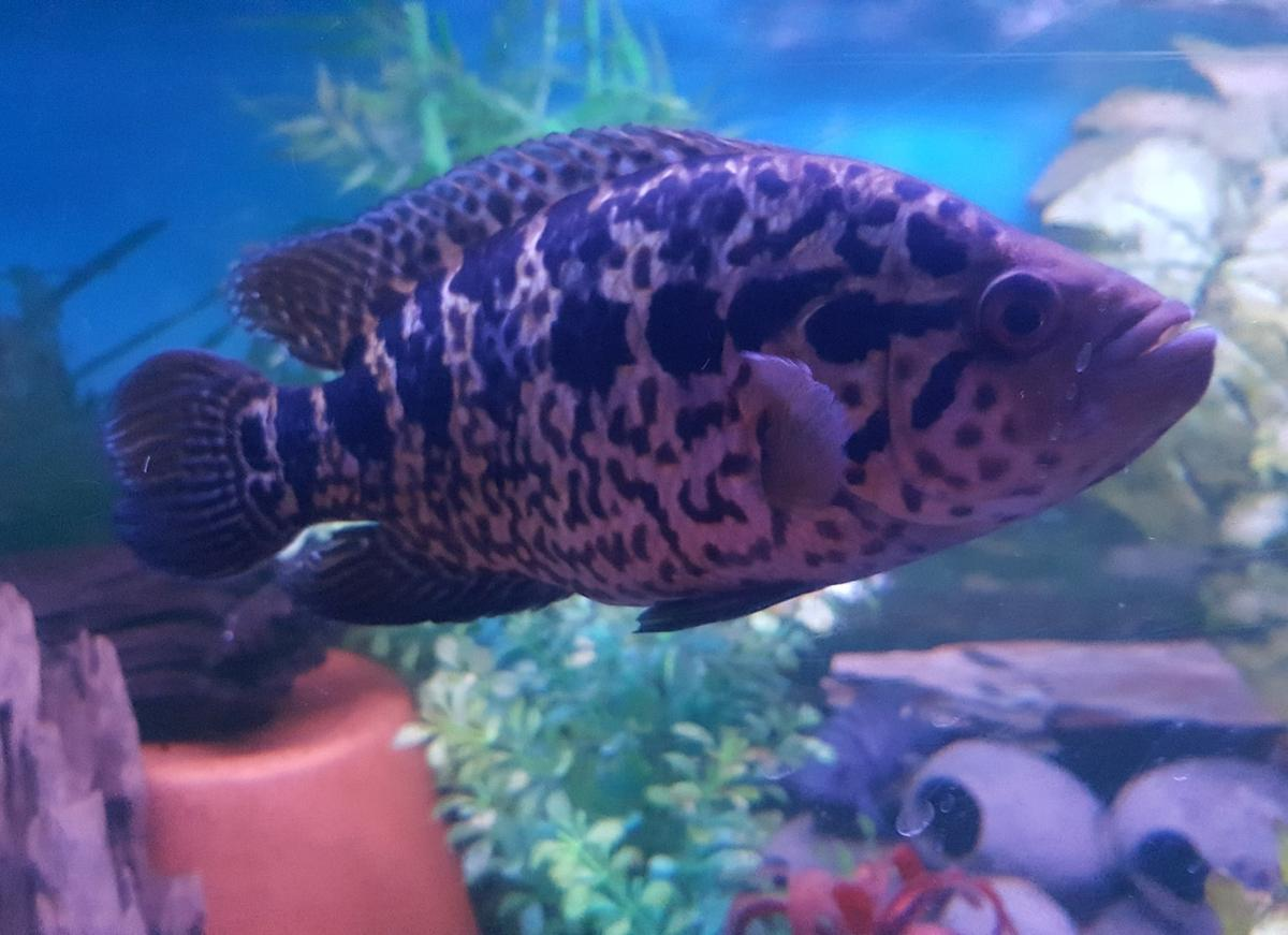 Cichlids in DY2 Dudley for £10 00 for sale - Shpock