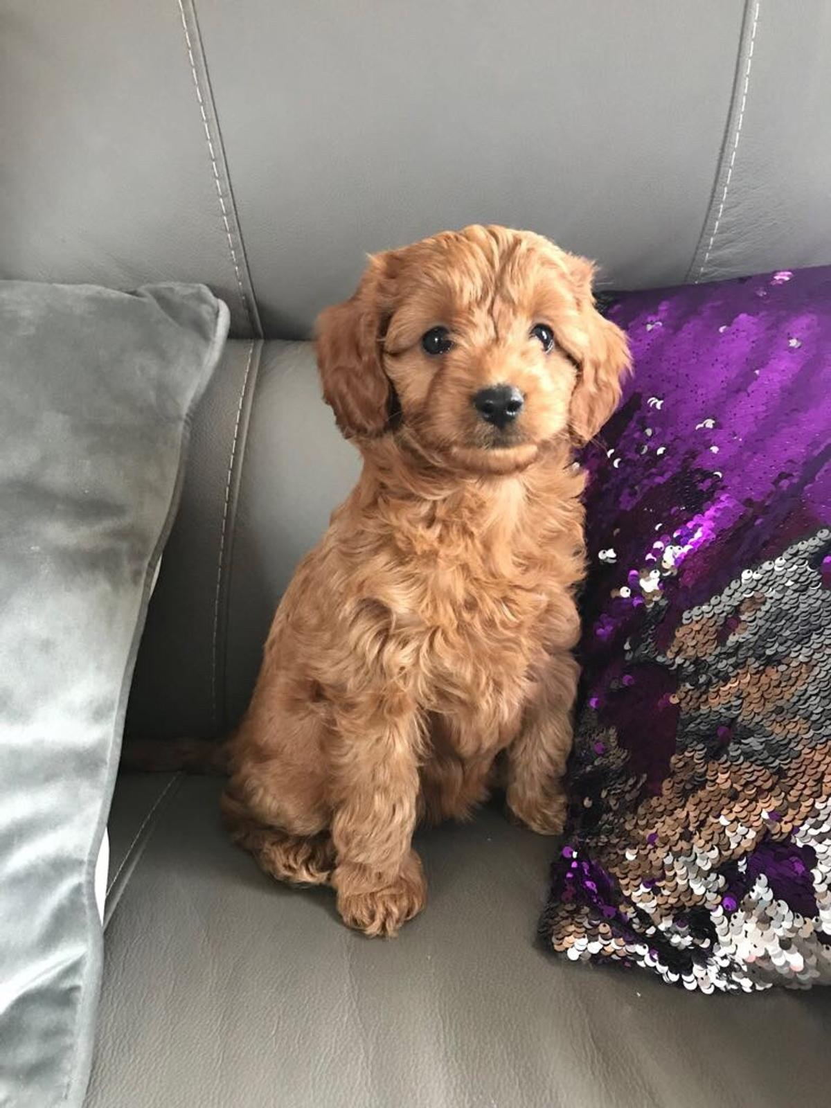 F1b toy cavapoo puppies price reduced in ST7-Lyme for