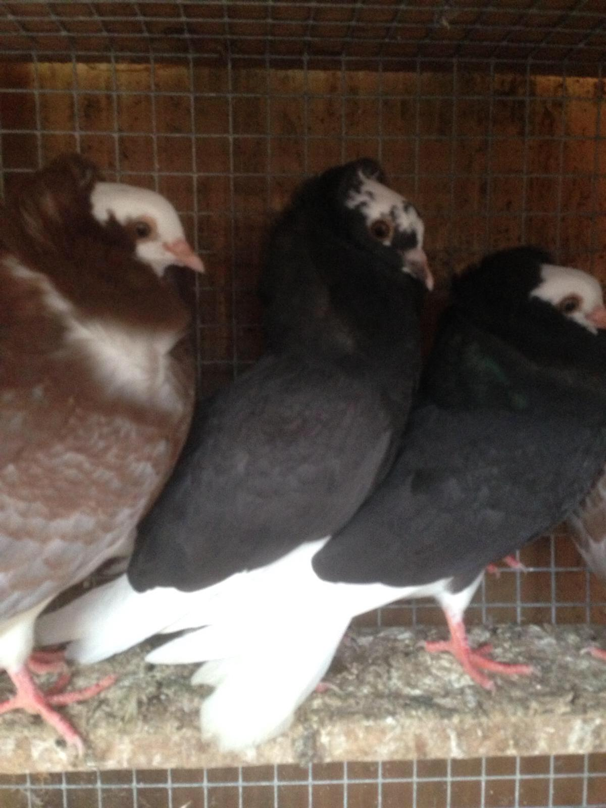 Pigeons for sale in CF Cardiff for £10 00 for sale - Shpock