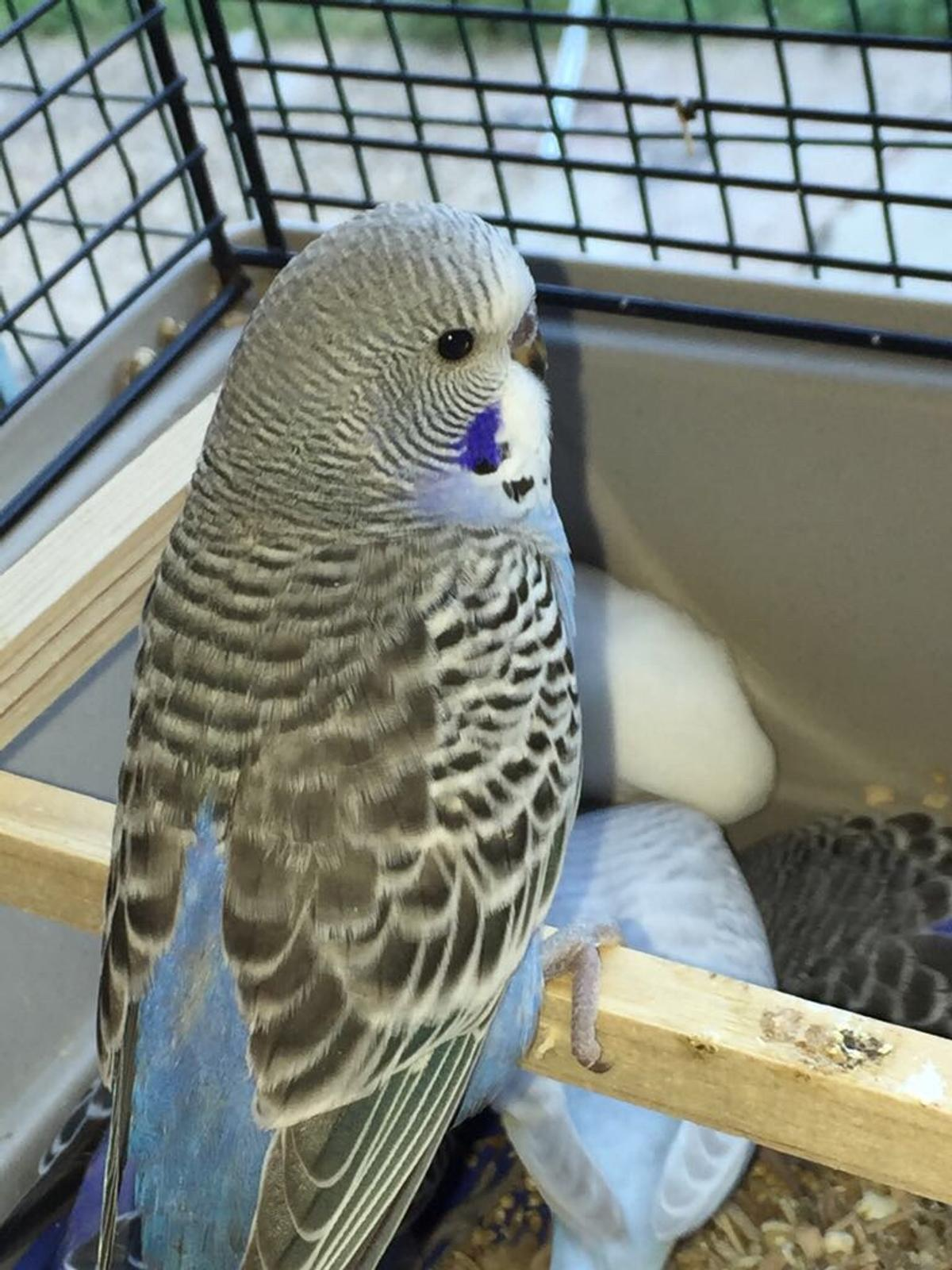 Baby budgies for sale in CO15 Tendring for £10 00 for sale