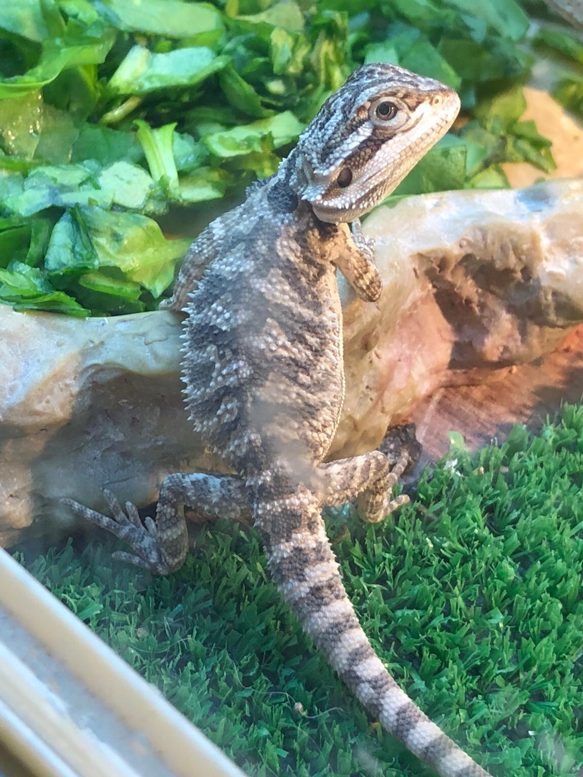 Baby bearded dragon for sale in L18 Liverpool for £25 00 for