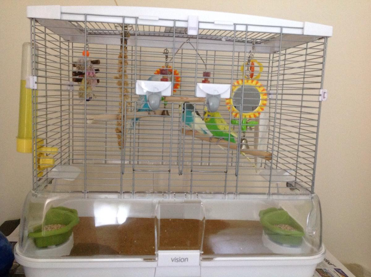 3 male budgies and vision cage in B97 Redditch for £65 00