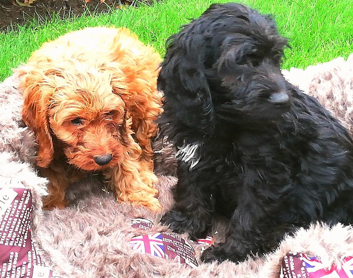Cockerpoo Puppies In Doncaster For 600 00 For Sale Shpock