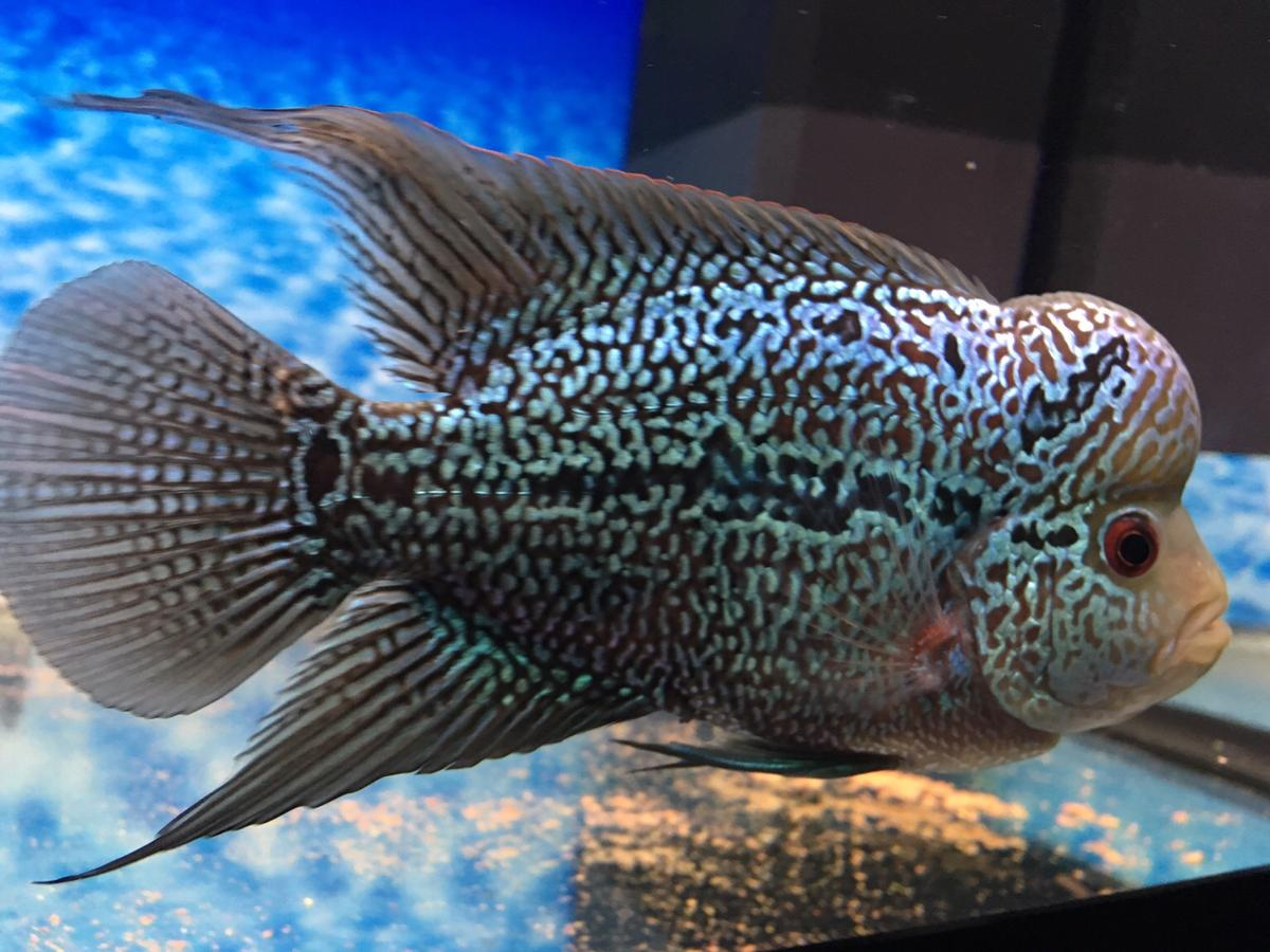 Flowerhorn in BB11 Burnley for £50 00 for sale - Shpock