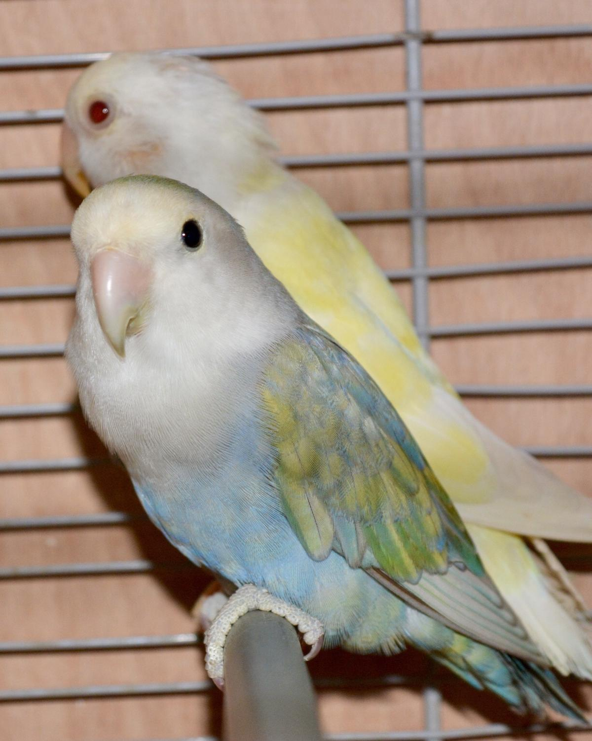 Lovebirds in Three Rivers for £40 00 for sale - Shpock