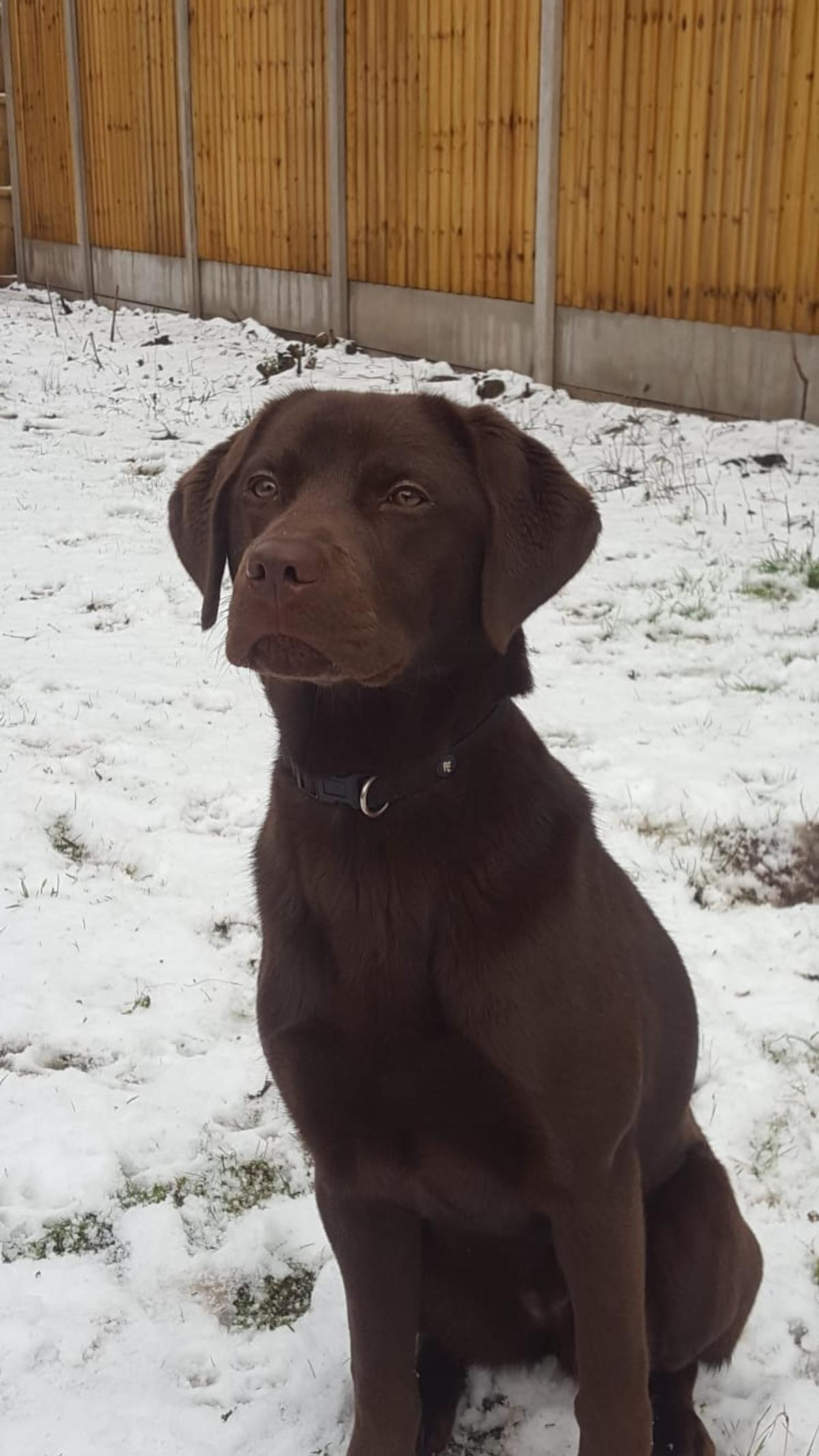 Chocolate Labrador Puppy In Poulton With Fearnhead For