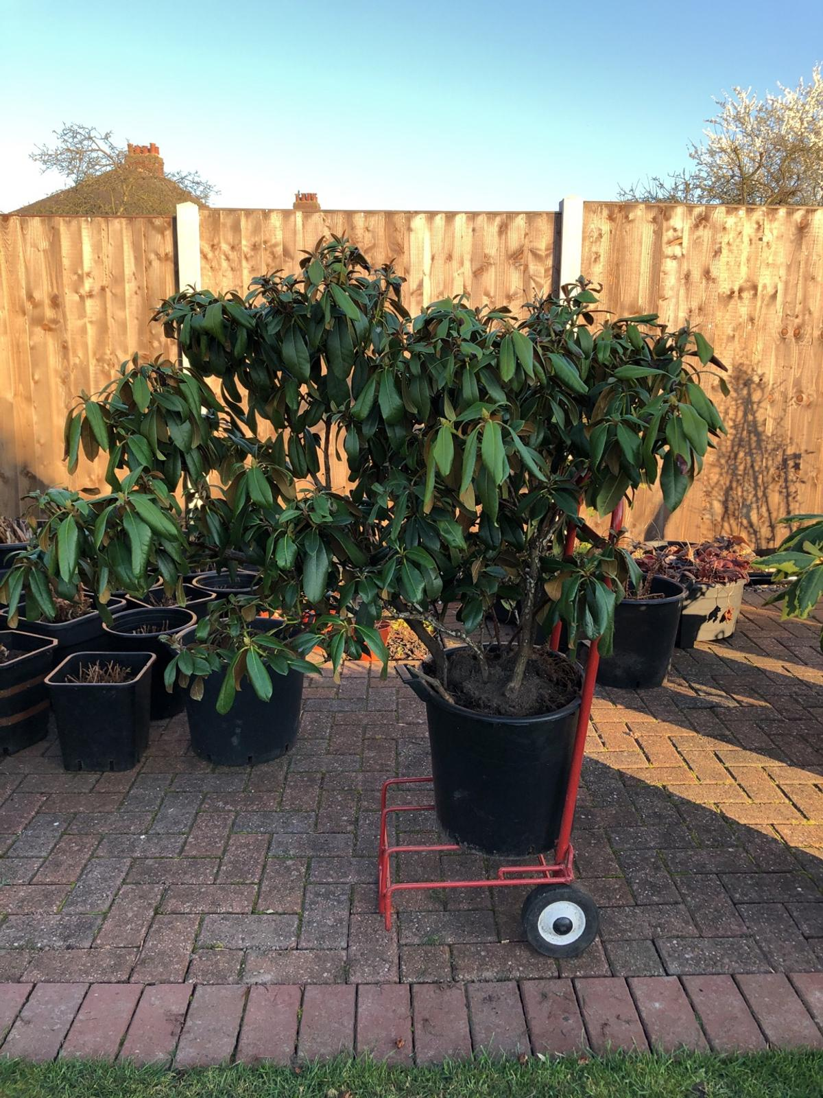 Rhododendron In Pot.Rhododendron Shrub