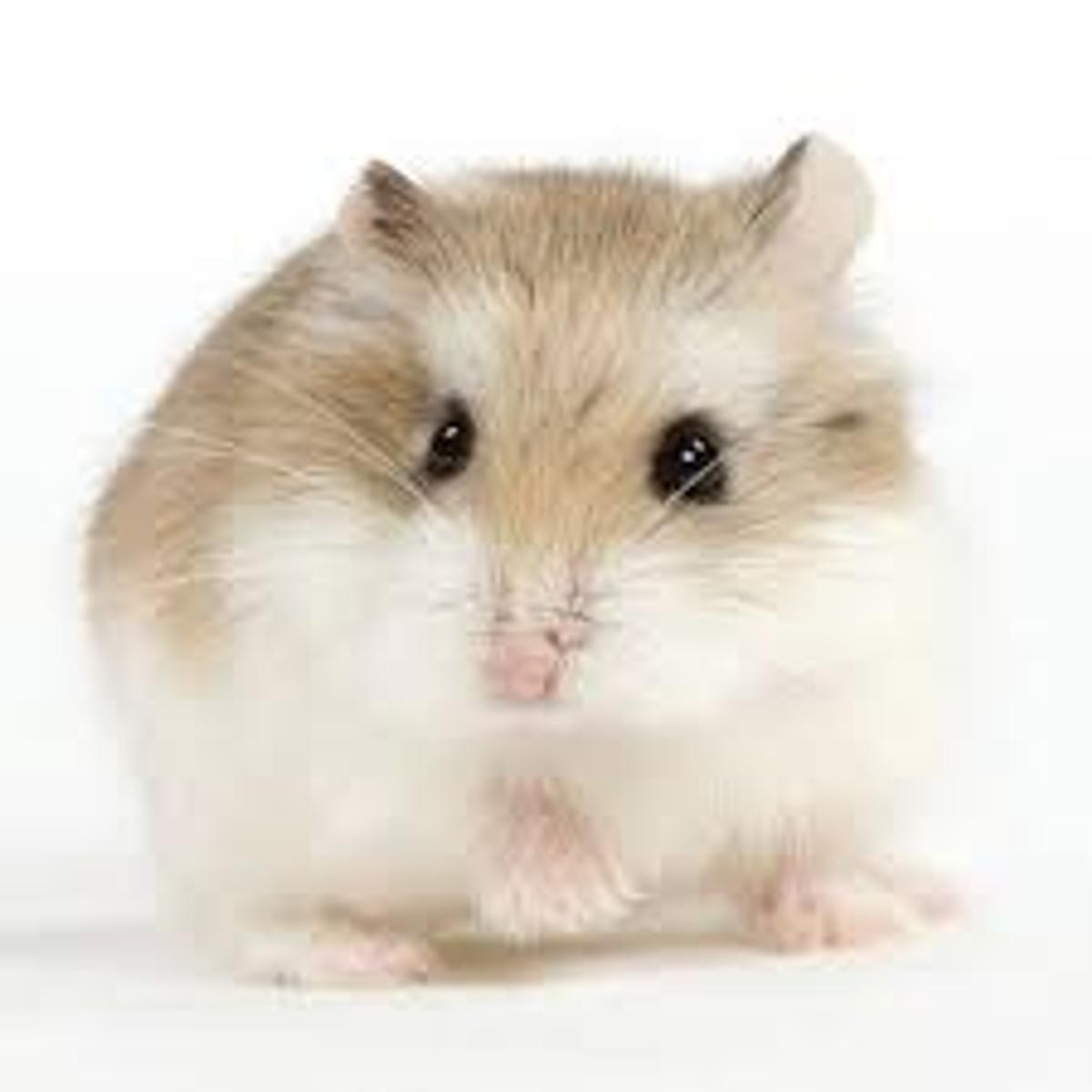 two male baby hamsters in St Helens für gratis kaufen - Shpock