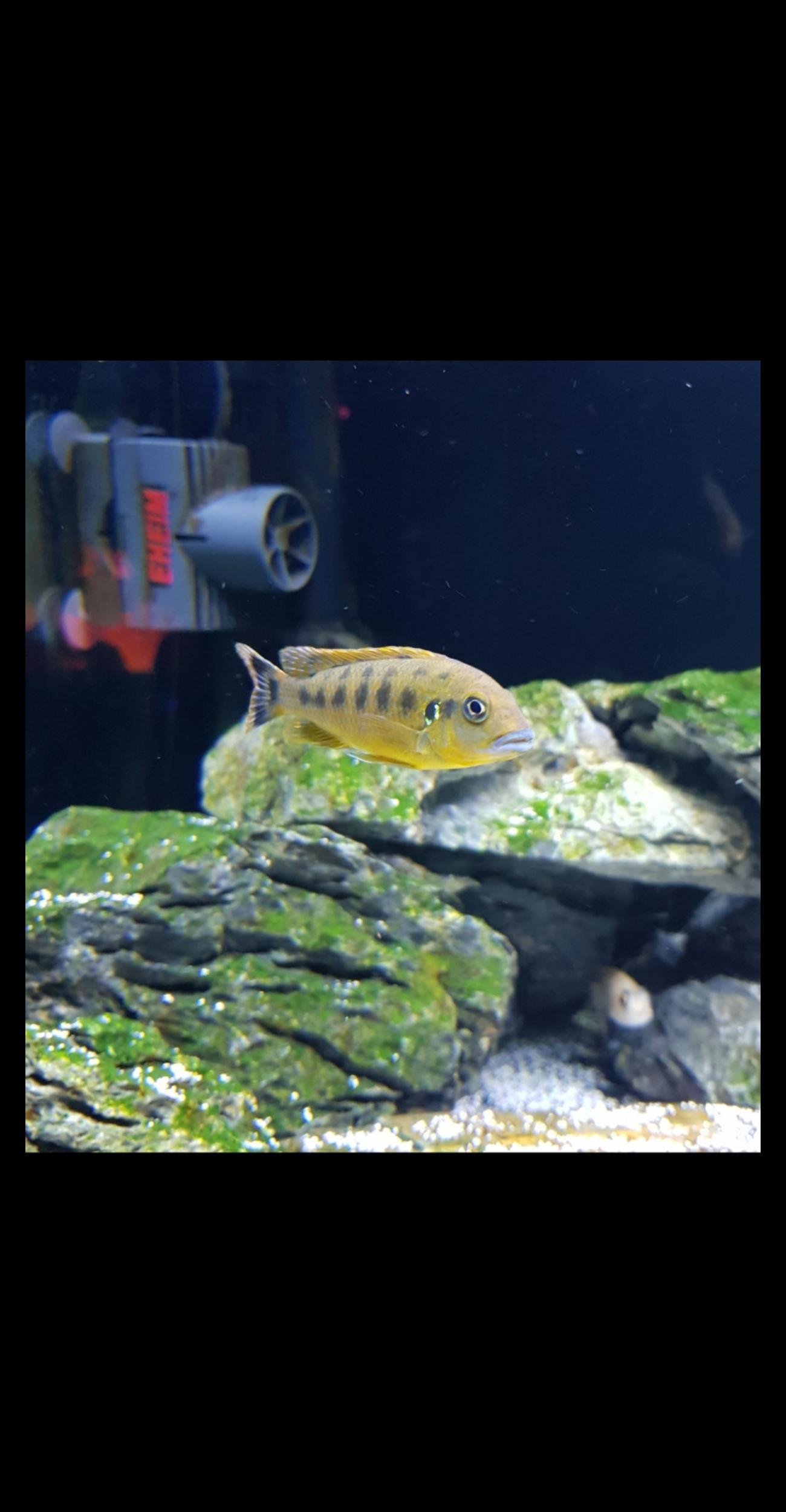 Malawi cichlids blue lips in UB3 London for £50 00 for sale - Shpock