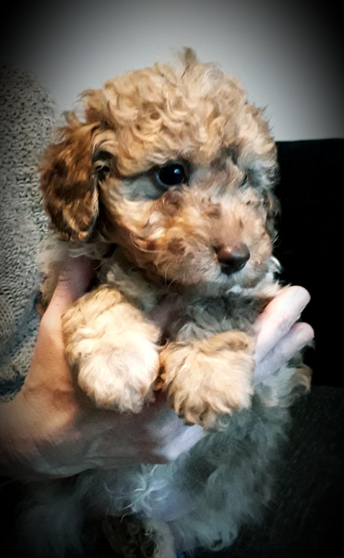 Cockapoo Puppies In M23 Manchester For 1 250 00 For Sale Shpock