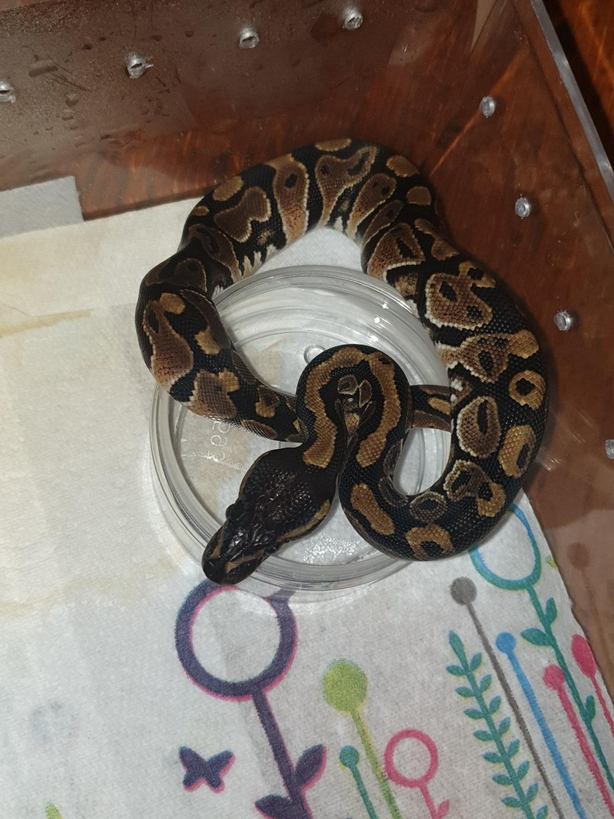 baby royal python for sale essex