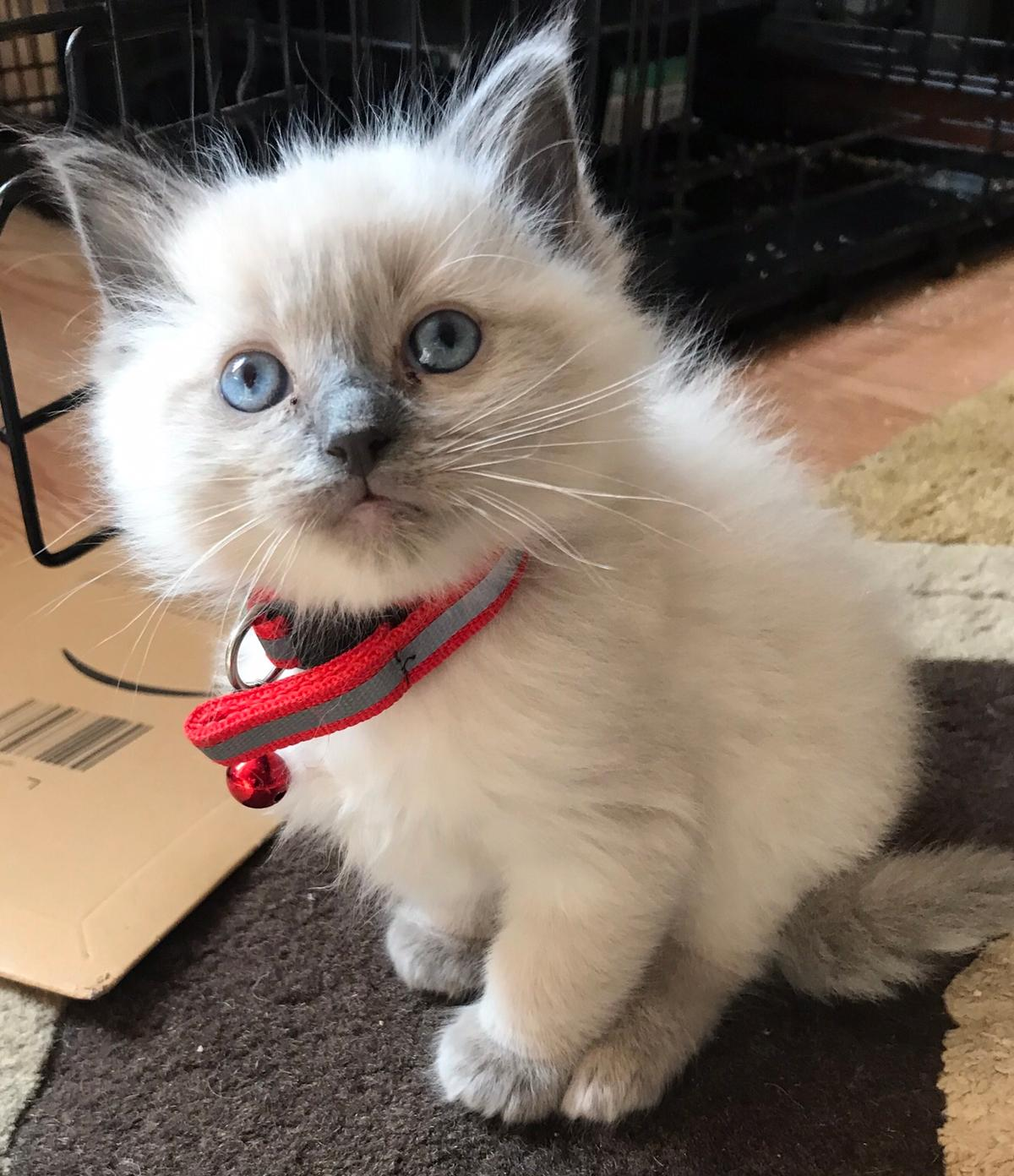 Gorgeous Ragdoll kittens for sale in B14 Birmingham for £500 00 for
