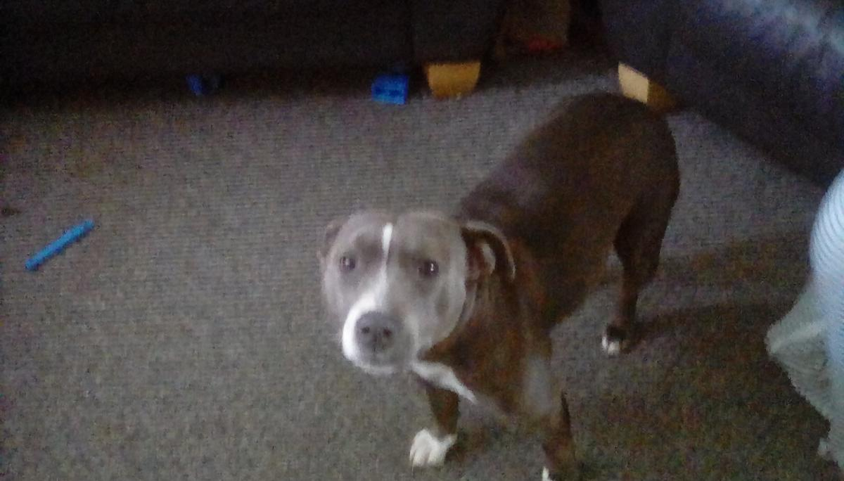 Blue Staffy For Sale : Blue staffy bitch in wv dudley for £ for sale shpock