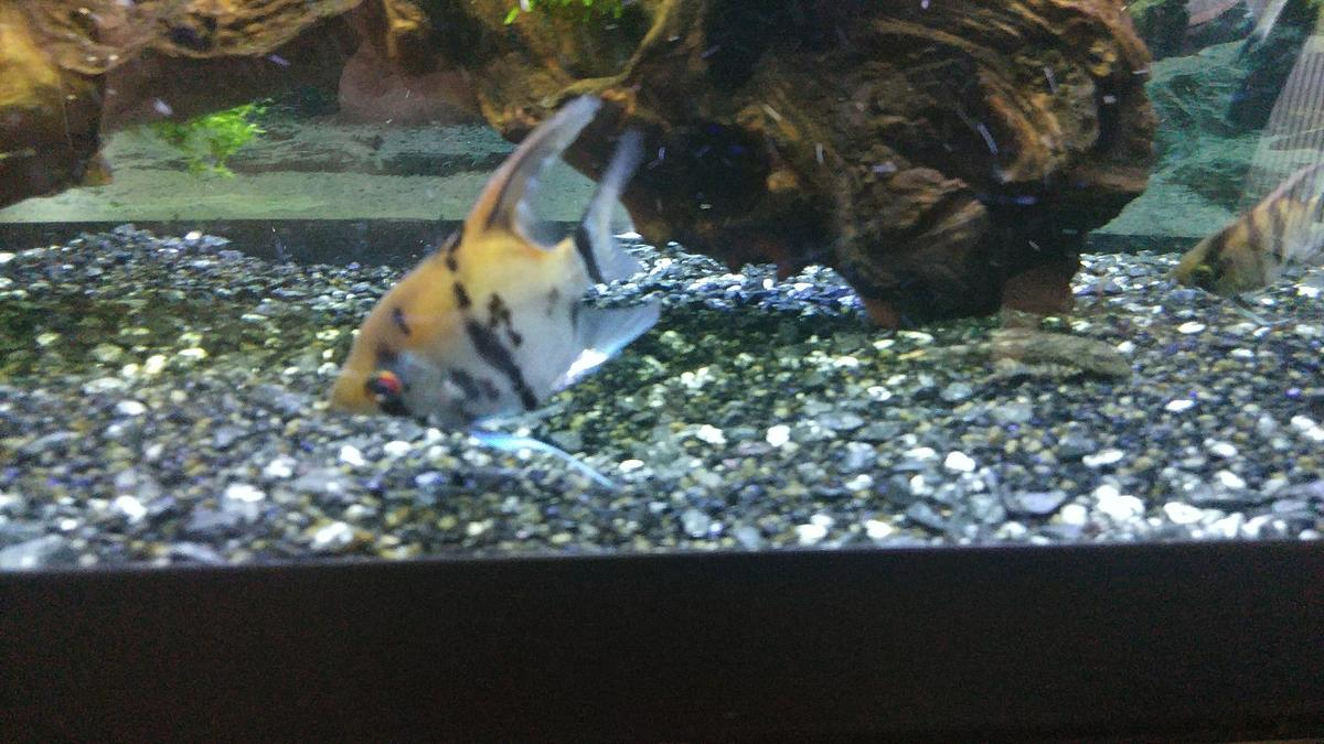 Angelfish - Tropical Fish for Sale in HD4 Kirklees for £4 00 for