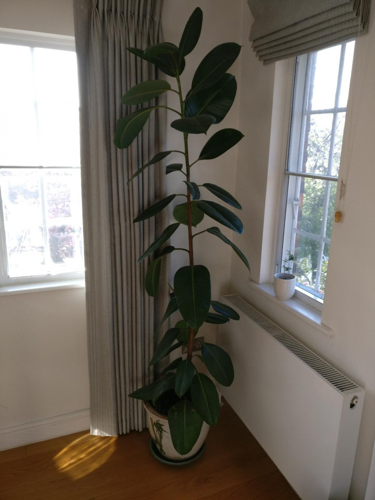 7ft Rubber Plant And Pot In N2 Barnet For 80 00 For Sale Shpock