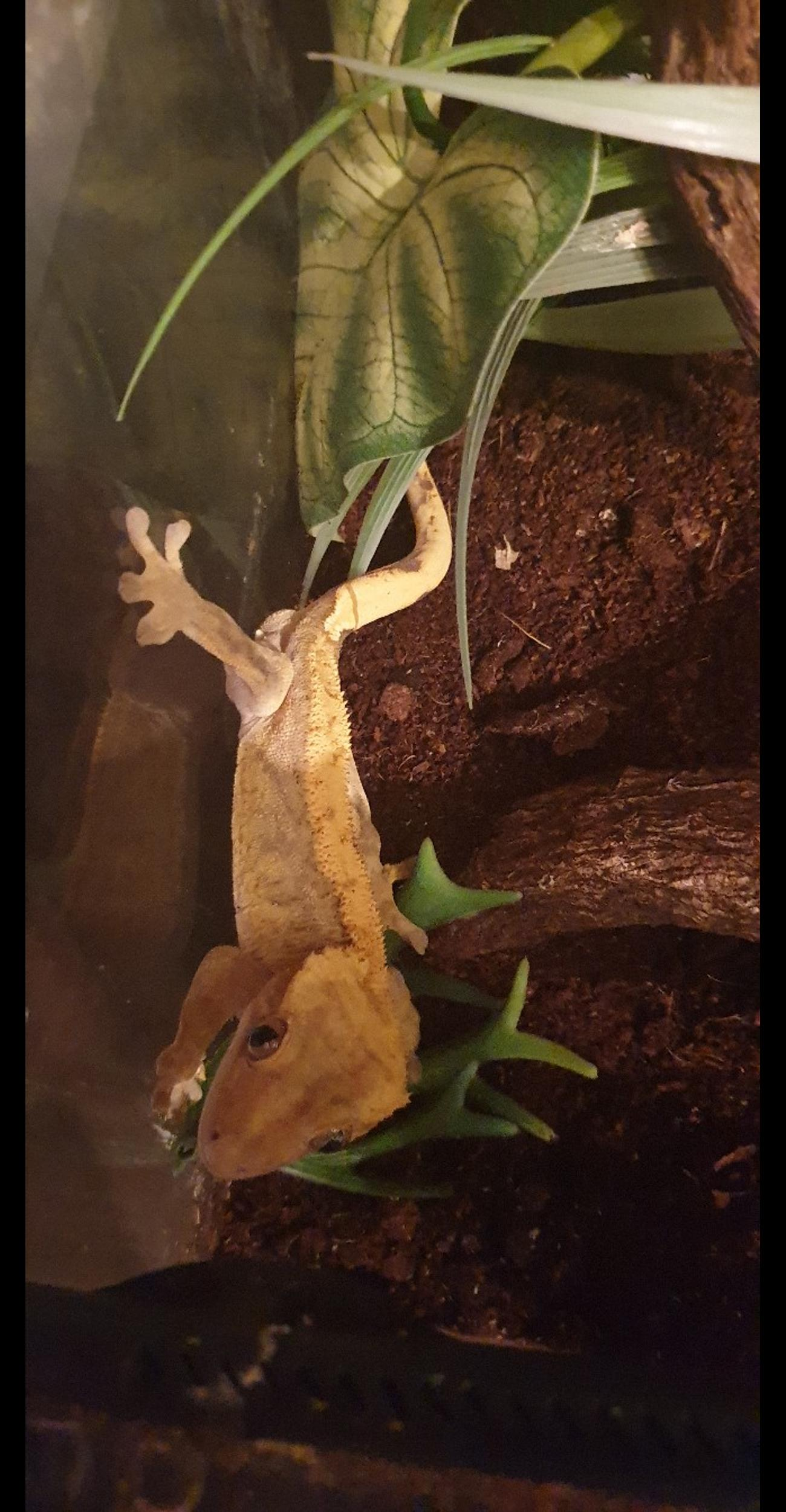 Crested Gecko's for sale with set up in BD3 Bradford for