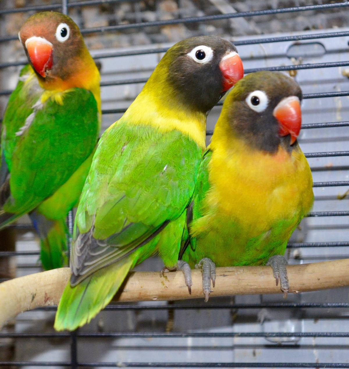 Young Lovebirds For Sale in WD3 Rivers for £40 00 for sale - Shpock