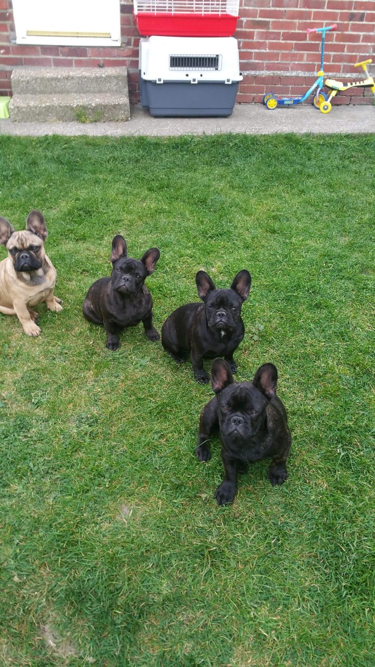 french bulldog puppies in tn37 hastings für 650,00 £ zum