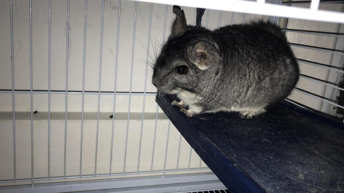 Chinchilla For Sale >> Male Chinchilla For Sale In N11 London For 80 00 For Sale Shpock