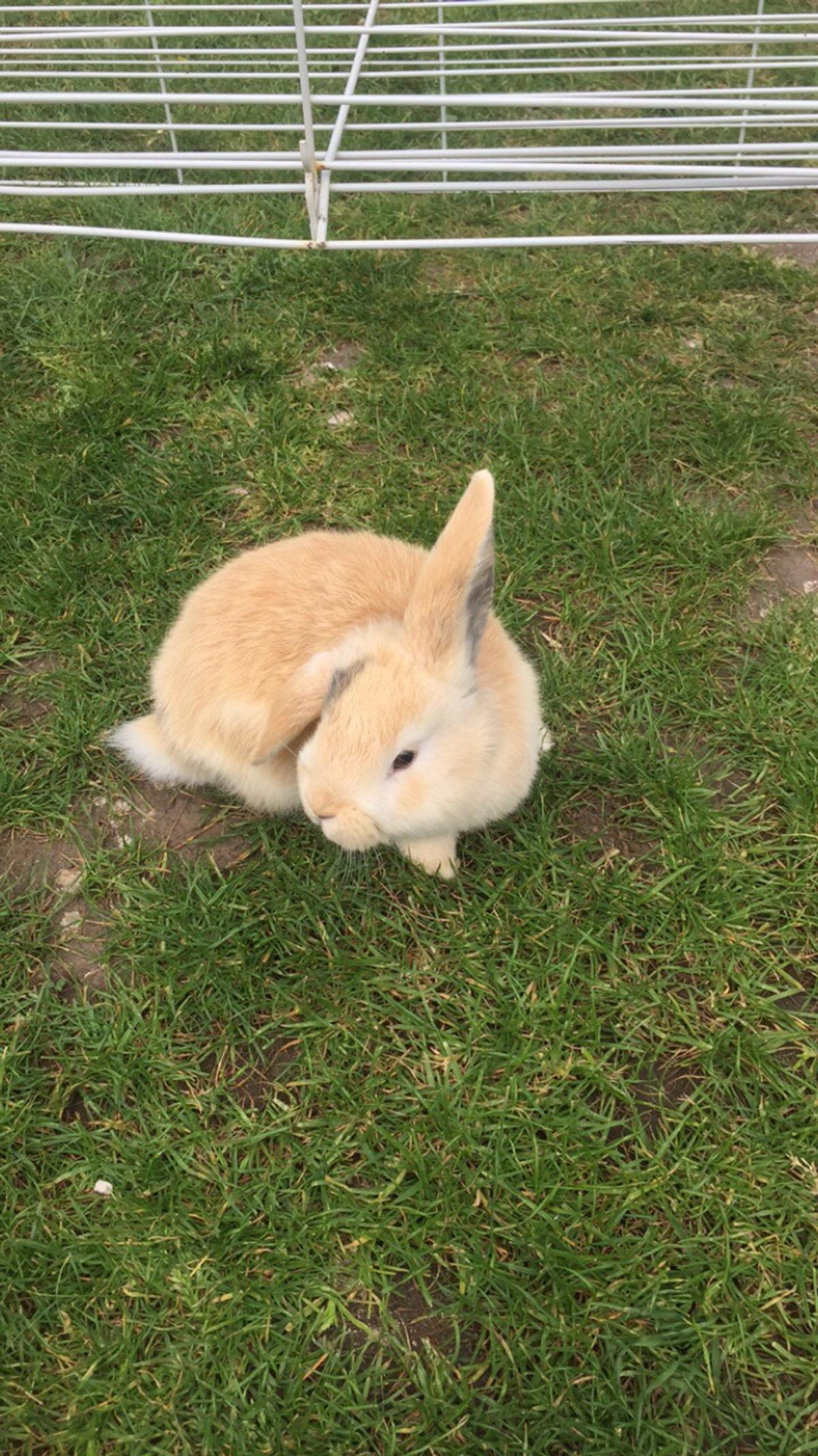Lion Head Lop Rabbit In Le5 Leicester For 25 00 For Sale