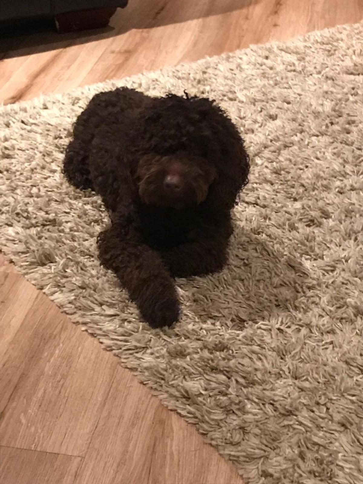 lovely Toy Poodle Puppies, Ready to go now in RG30 Reading