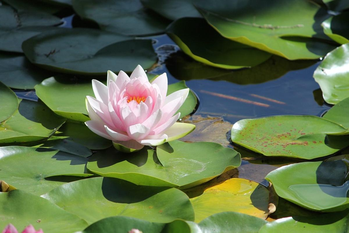 Well Elished Water Lily Er To Remove