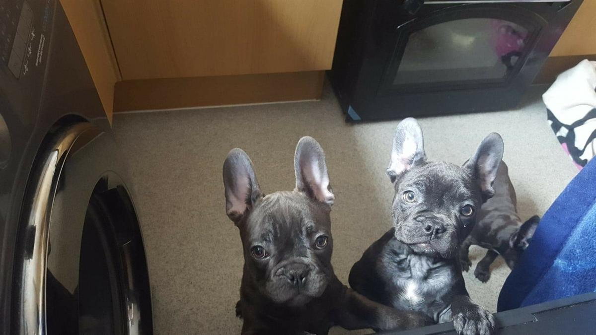 Solid Blue French bulldog puppies in DA8 Bexley for £1,100 00 for