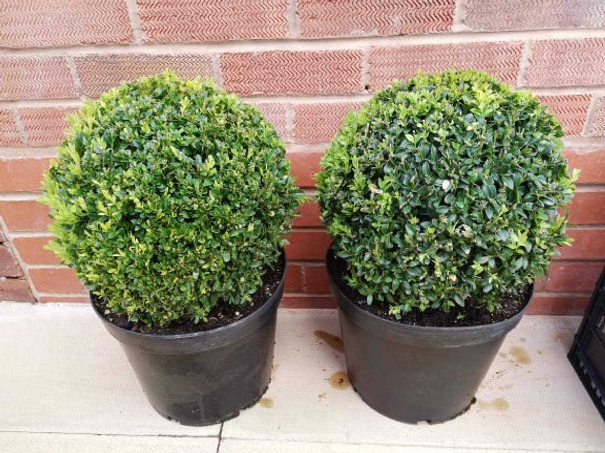 Box Topiary Balls 15 Each In Dy6 Dudley For 15 00 For Sale Shpock