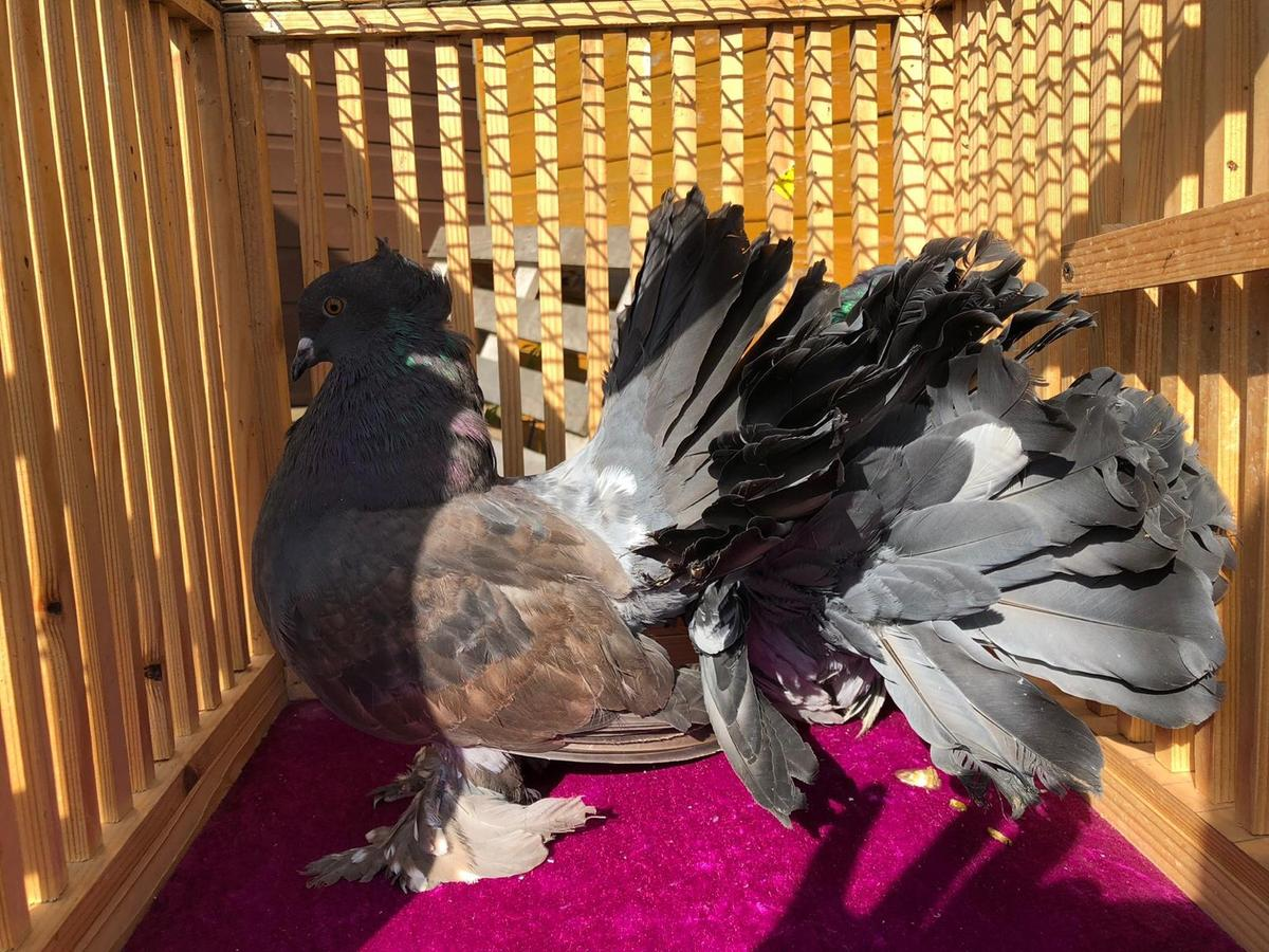 Indian Fantail Pigeons in BD3 Bradford for £45 00 for sale