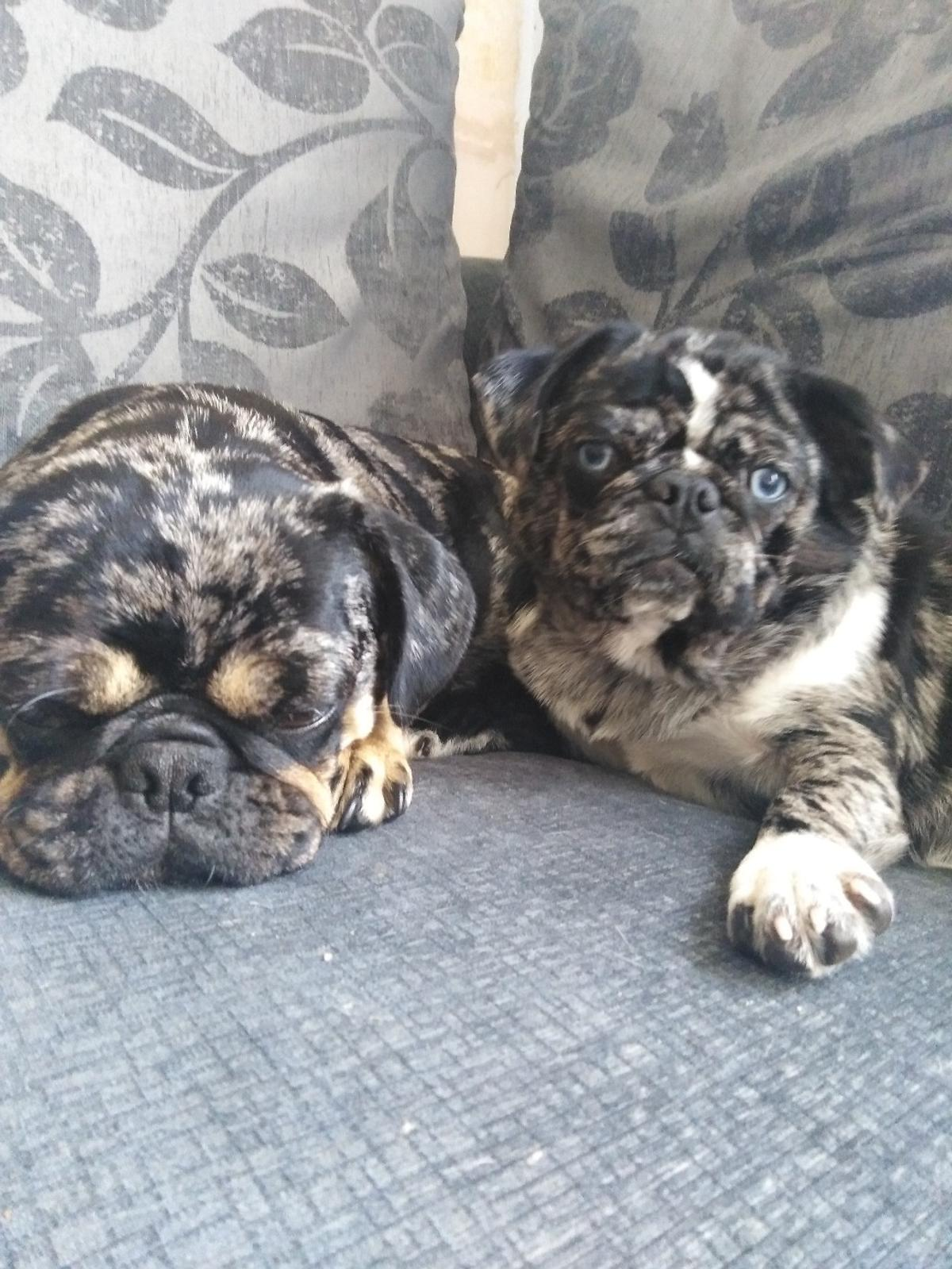 2 female merle pug puppies in BL3 Bolton for £800 00 for