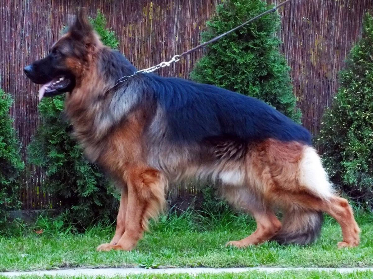 Buy Long Haired German Shepherd Puppies Dog For Sale Near Me In South Australia