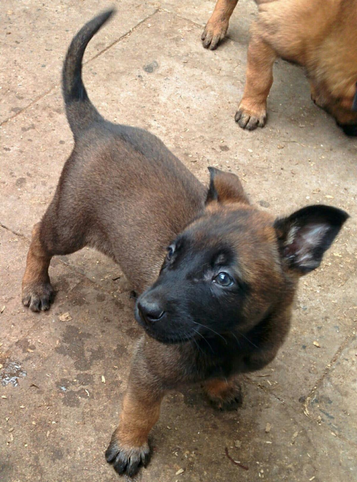 Belgian Malinois Pups In B23 Birmingham For 650 00 For Sale Shpock