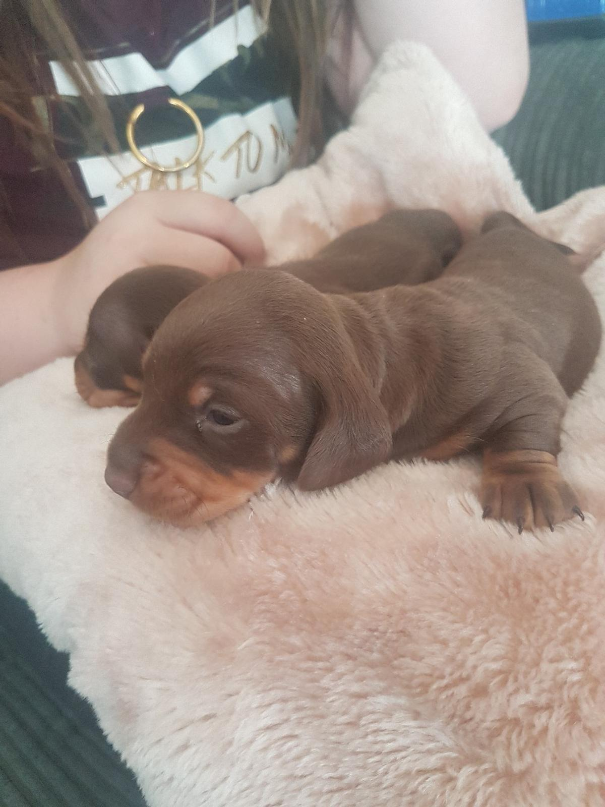 Miniature Dachshund Puppies In Wakefield For 1 000 00 For Sale Shpock
