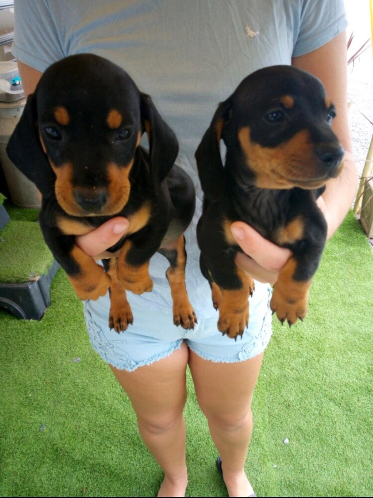 Standard Black And Tan Dachshund Puppies In Tewkesbury For 750 00 For Sale Shpock
